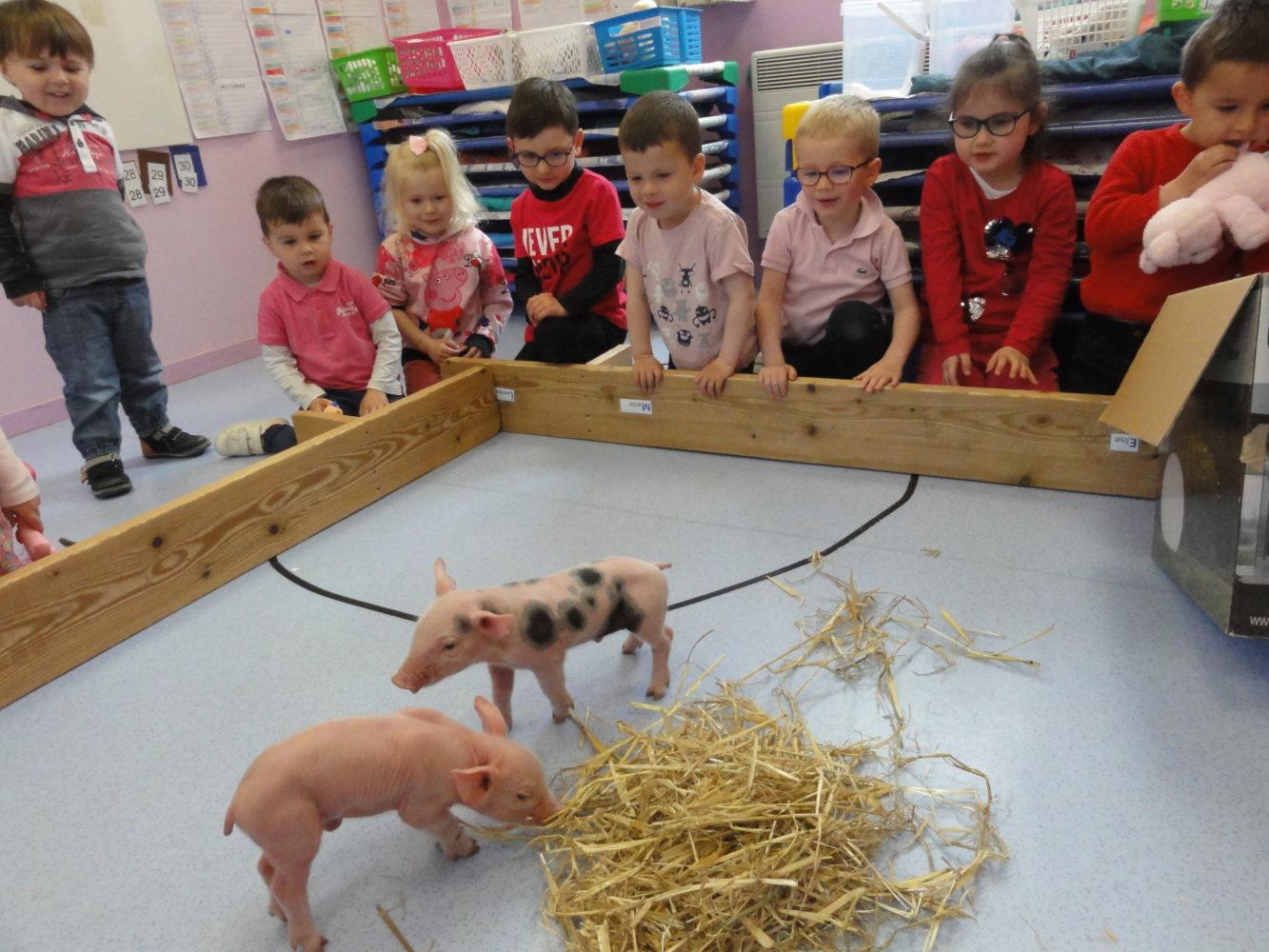 des cochons dans la classe